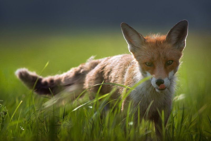 fox, wildlife, grass, animal Gourmetphoto preview