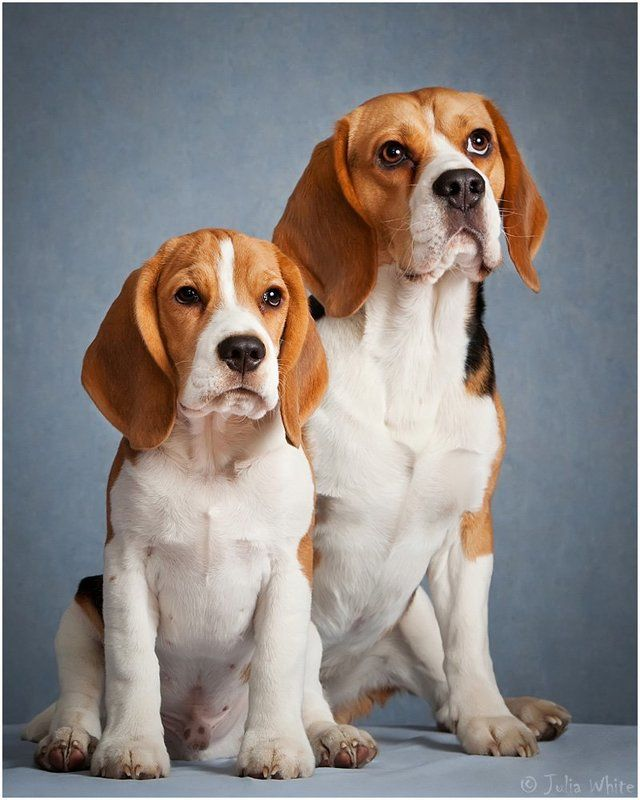 собака, бигль, dog Биглемордыphoto preview