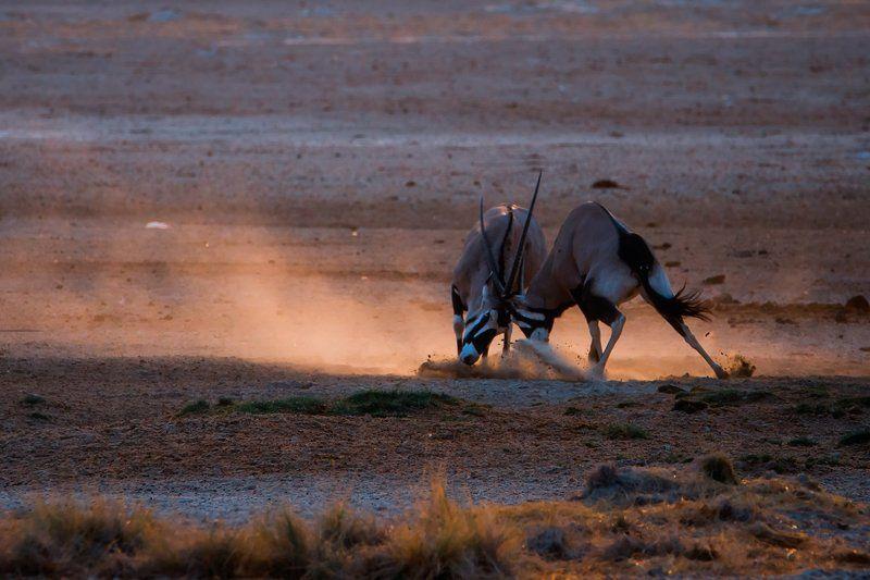 Oryx of Etoshaphoto preview