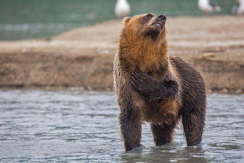 камчатка, медведь, курильское, озеро, природа, животные, путешествие, фототур, Ну я вас умоляю…photo preview