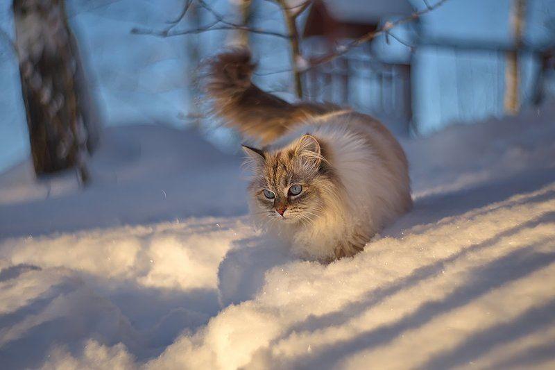 кот, кошка, животные, зима, снег, petzval Зимняя прогулкаphoto preview