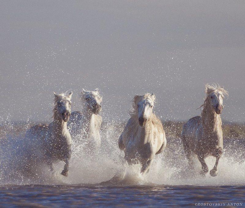 Камарг, Франция, фототур, кони Камаргские жеребцыphoto preview