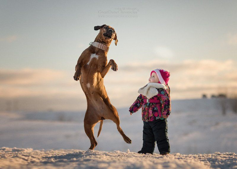 собака, риджбек, родезийский риджбек, снег, зима, солнце Dancing in the Snowphoto preview