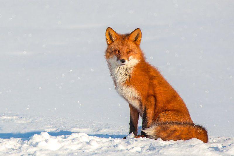камчатка, лиса, зима, солнце, природа, животные, путешествие, фототур, Спящая красавицаphoto preview