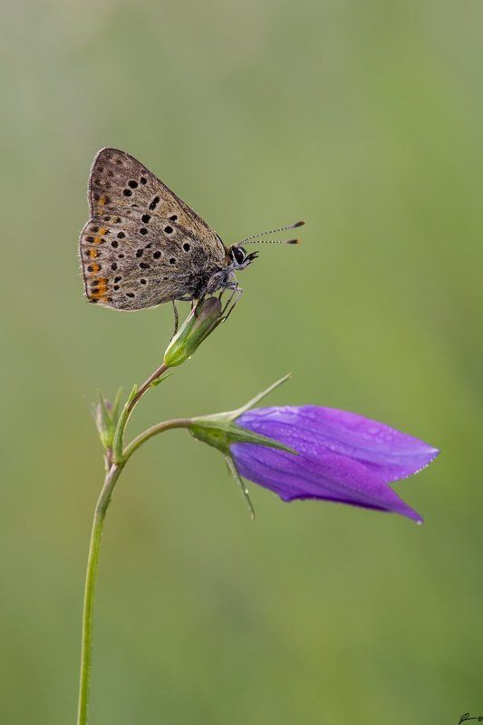 Lycaena tityrusphoto preview