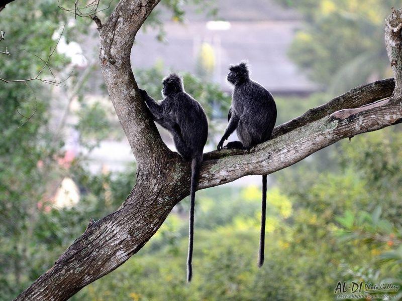 monkey, malaisya Monkeysphoto preview