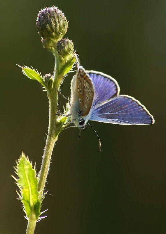 Бабочка Икарphoto preview