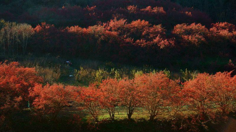 asia,korea,gyeongsangbukdo,autumn,morning,berries,sunlight,backlight,morning,nature,mountain,orchard Cornus cherry orchardphoto preview