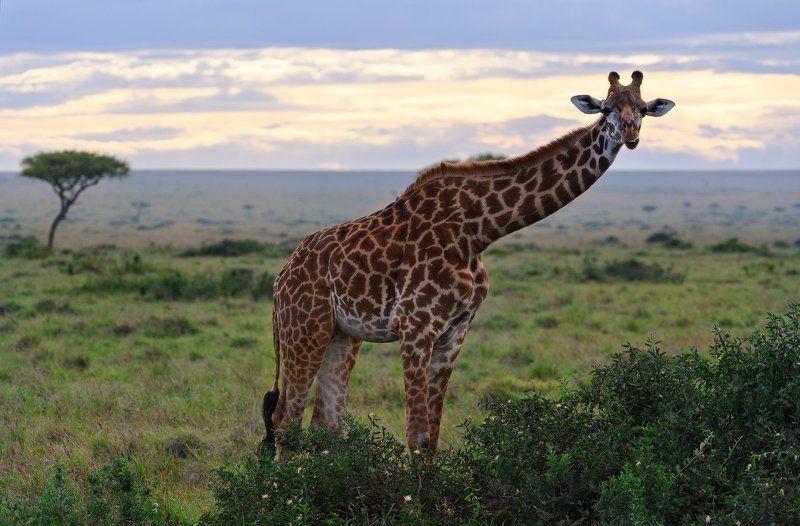 Кенийская ЖирафАphoto preview