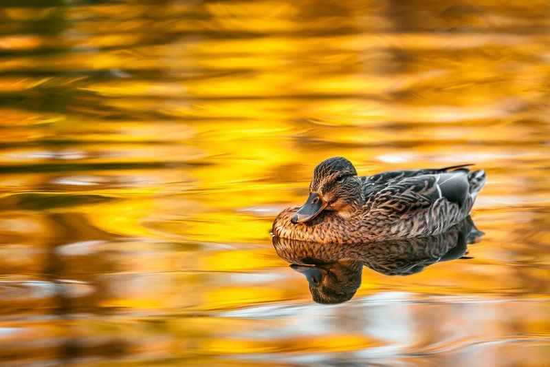 duck, mallard, female, lake, autumn В золотеphoto preview