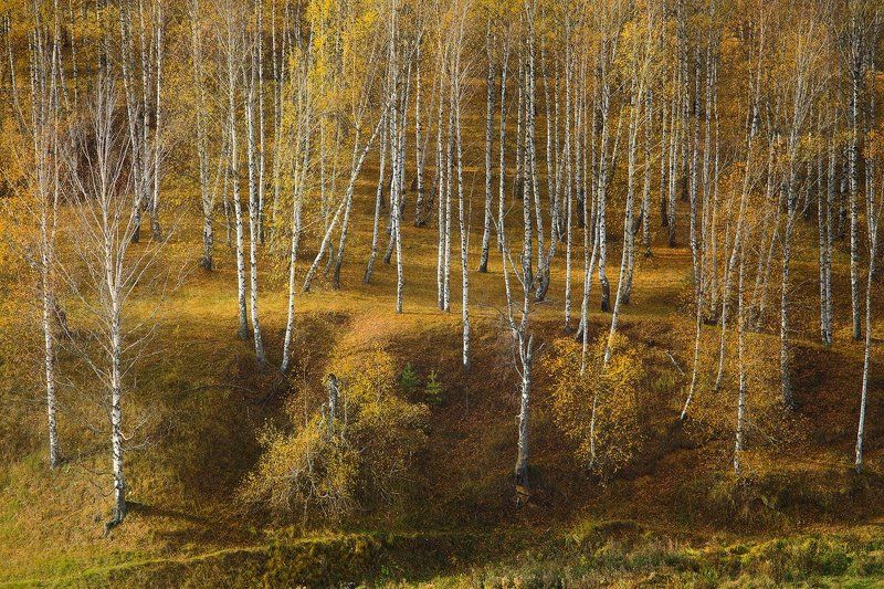 осень, березы Осенний марафонphoto preview