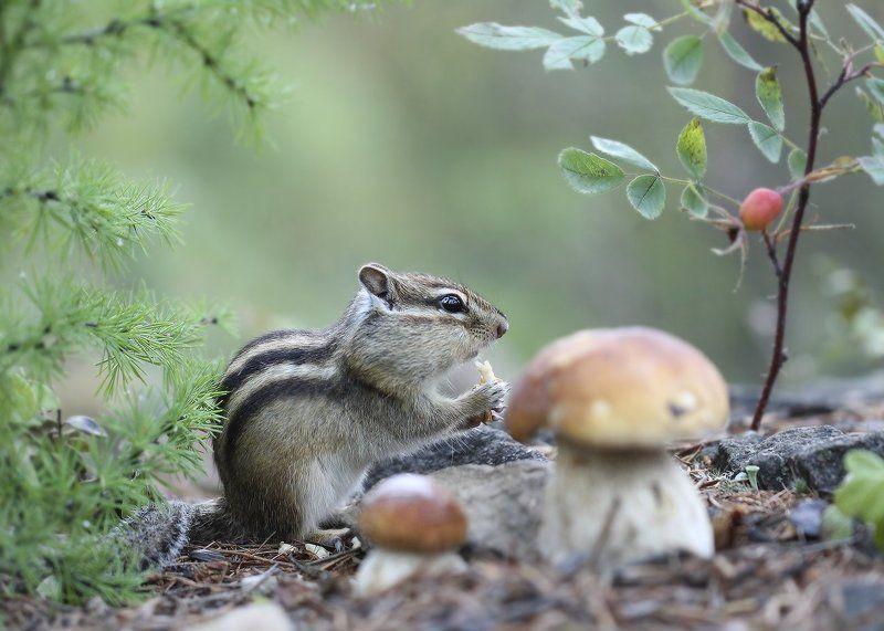 бурундук, боровик, якутия За грибамиphoto preview
