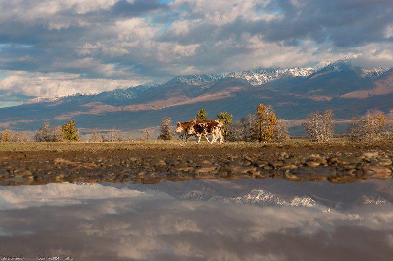 Долина, река, Чуя, Курай, Алтай, Россия, коровы, стадо, телеонк, горы, гора, снег, осень, отражения, облака, небо Коровка и еще половинка. A cow and a calfphoto preview
