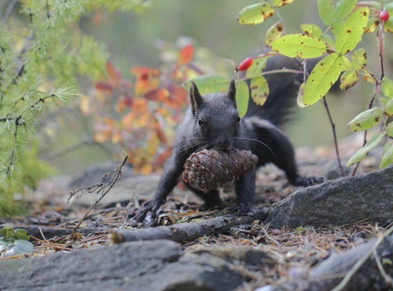 белка, якутия Дары лесаphoto preview
