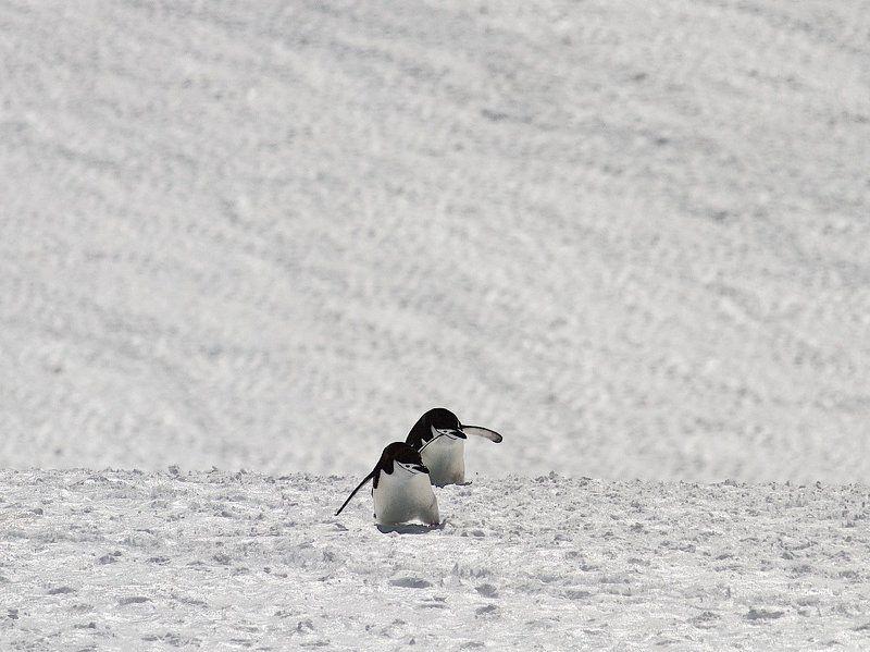 Зачем пингвины на скалы лезут!?photo preview