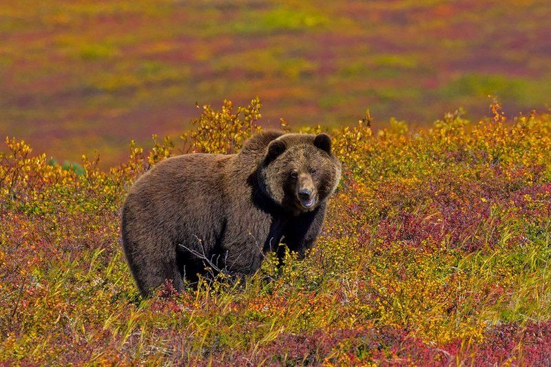 камчатка, вулкан, медведь, осень, природа, пейзаж, животные, путешествие, фототур, ягода, краски На ягодной полянкеphoto preview