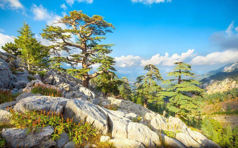 кедр, горы, поход, ликия, анатолия, турция Кедровый лесphoto preview