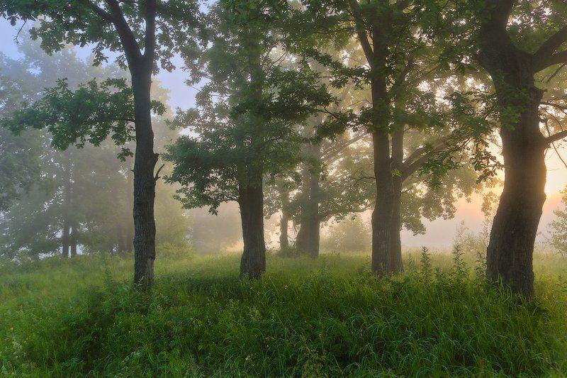 дубы утро свет туман Утроphoto preview