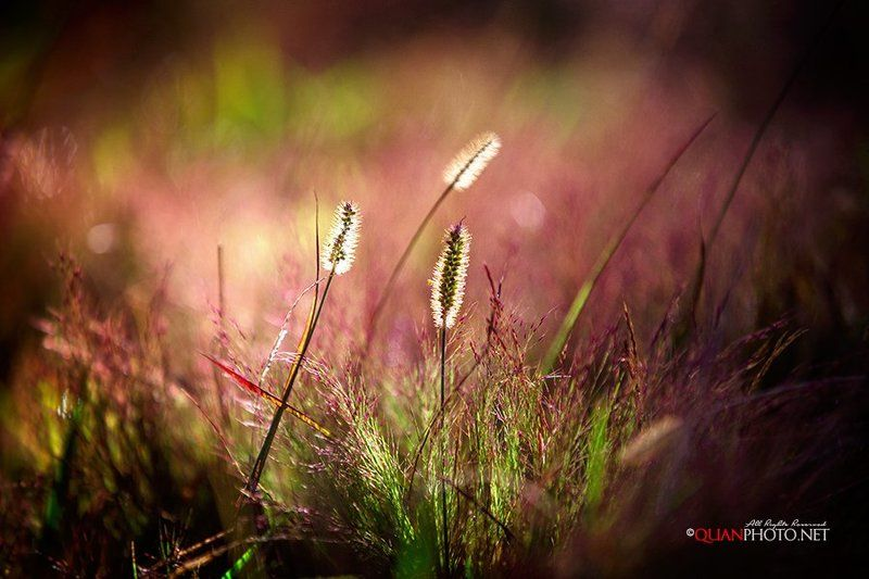 #quanphoto,#nature,#morning,#sunshine,#wild,#grass,#bokeh,#vietnam Wildgrassphoto preview