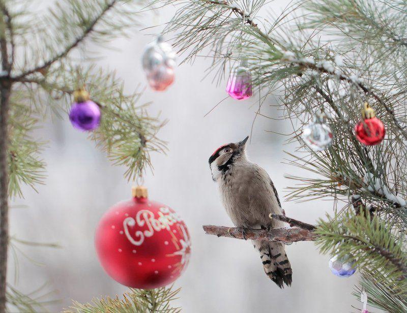 малый_пестрый_дятел, якутия, нерюнгри, новый_год Это что за Новый год?photo preview