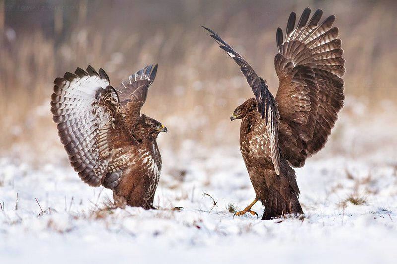 buzzard, buteo buteo, birds, birds of prey, fight, wild, animals, winter, snow Fightphoto preview