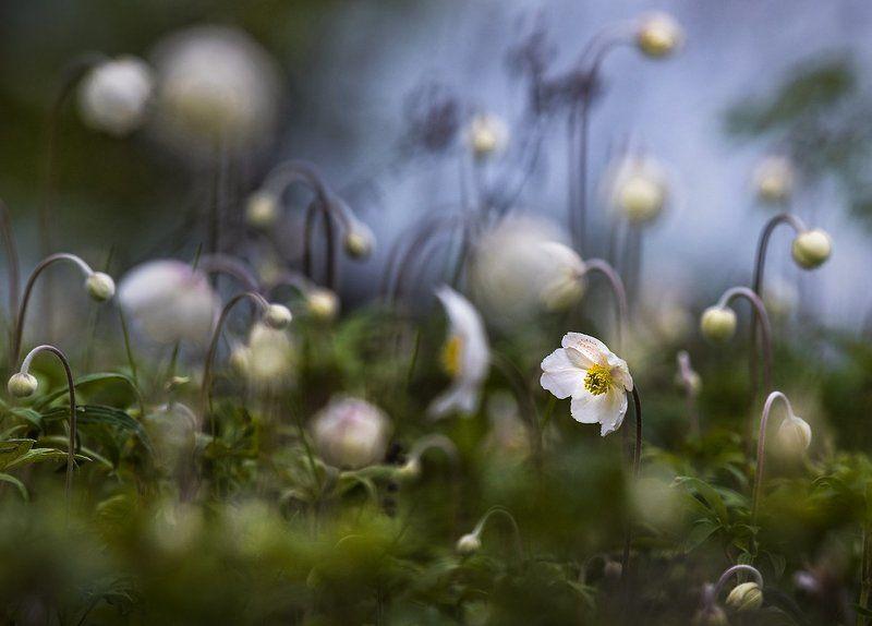 ветреница лесная, цветение Цветениеphoto preview