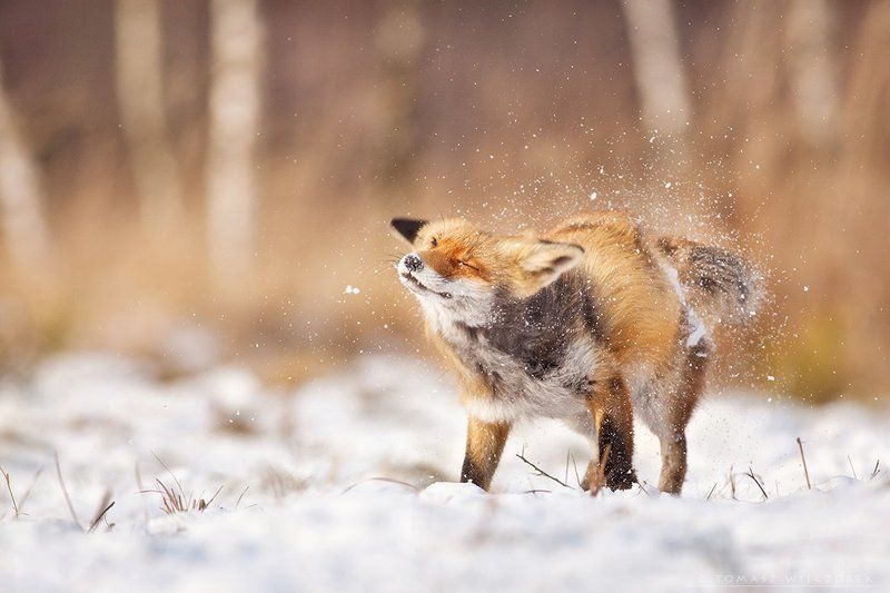 fox, red fox, fuchs, winter, wildlife, wild, snow, cold, animals, mammals, lucky Brrr ... cold!photo preview