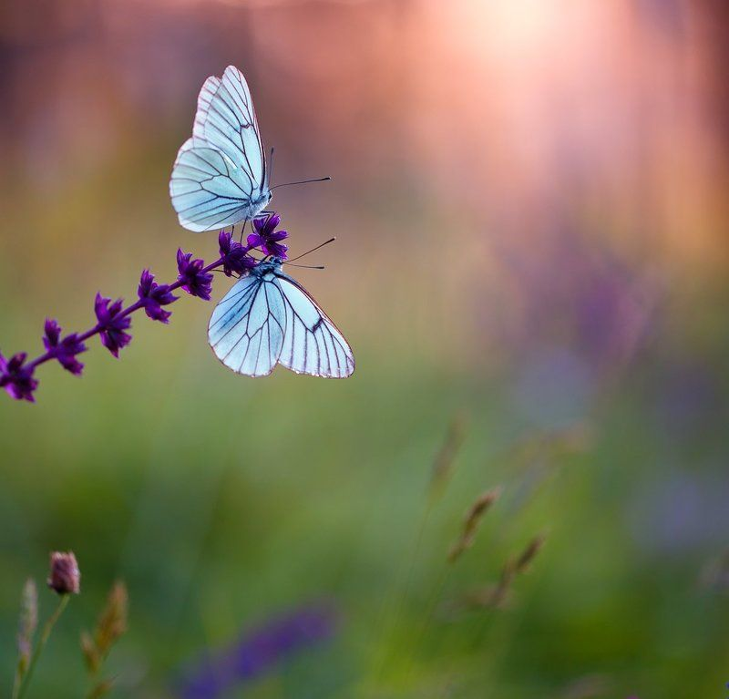 butterfly,butterflies,nature,fairy,light,bokeh,beautiful,wild,wildlife,insects,macro,close up, Butterfliesphoto preview