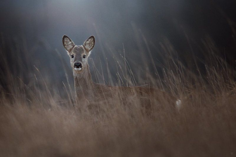 roe deer, wildlife, doe Doephoto preview