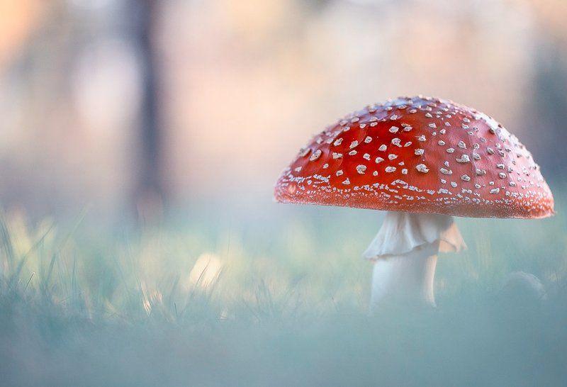amanita muscaria,mushrooms,mushroom,poison,fairy,light,bokeh,beautiful,nature,macro,close up,fairy tale,wild,wildlife, Amanita muscariaphoto preview