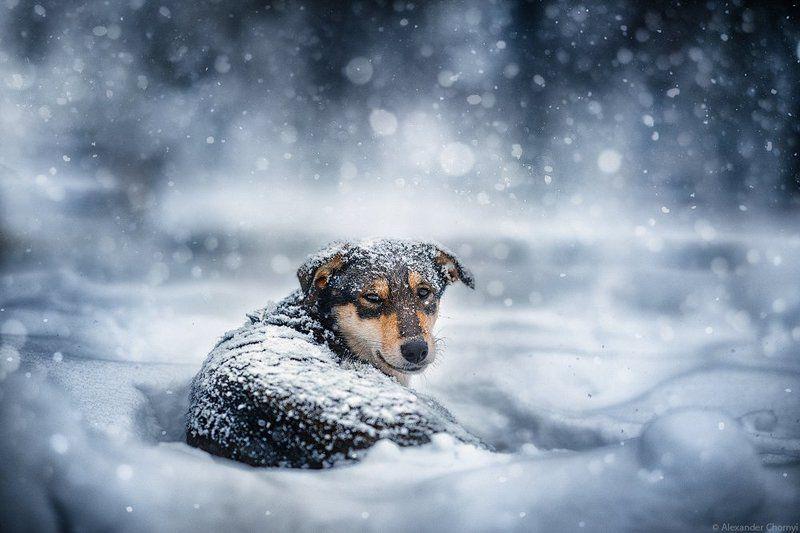украина, коростышев, зима, снег, собака, пес, одинокий, холод, Отчего так предан Пес...photo preview