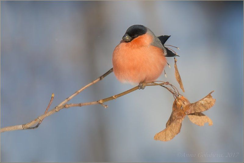 птицы, pyrrhula pyrrhula, природа, снегирь, самец, зима, январь, мороз, 2016, москва, куркино Алое яблочкоphoto preview