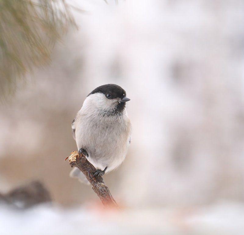 якутия, нерюнгри, гаичка Гаичкаphoto preview