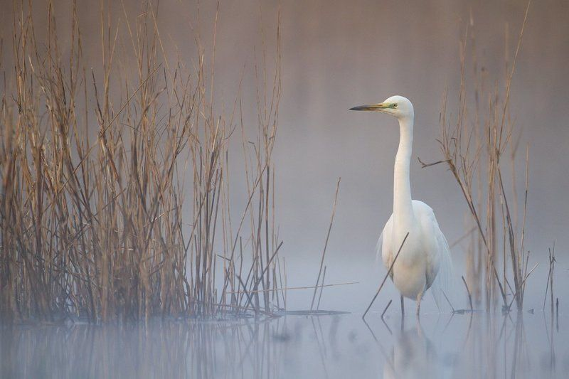 greategret Great Egretphoto preview
