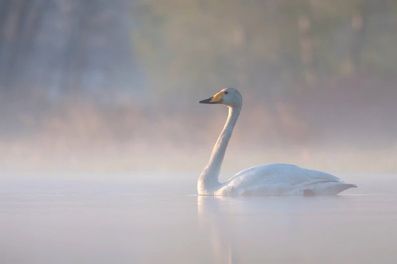 nature,animals,bird. Whooper Swanphoto preview