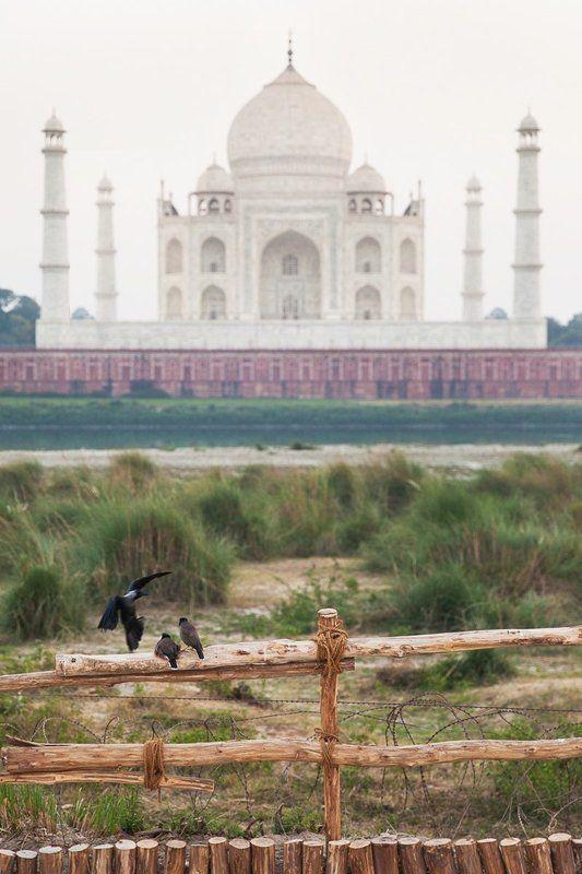 путешествие, популярное, тадж махал, индия, азия, индостан, пейзаж, животные, птицы, история, сюжет, концепт, репортаж, момент Тадж-Махал и его жителиphoto preview