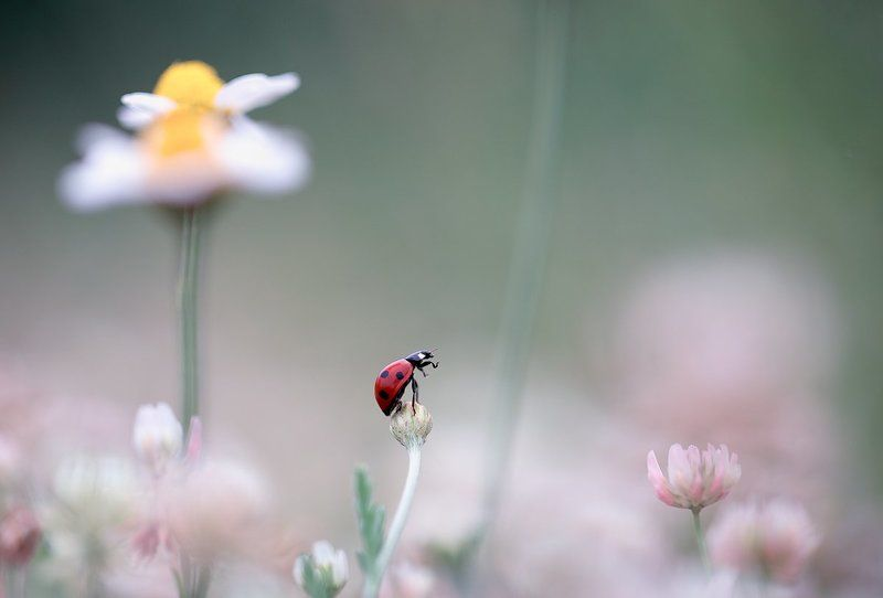 ladybug,insects,insect,nature,flowers,color,light,bokeh,beautiful,wild,macro,close up,fairy, Ladybugphoto preview