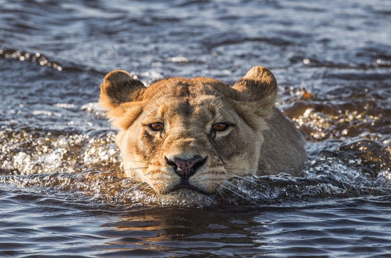 Львица, Африка, переправа, плавать photo preview