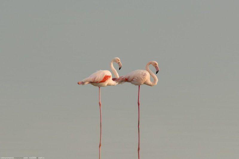фламинго, кипр, ларнака, прица, розовый, море, озеро, вода, закат, осень, зима Пара фламингоphoto preview