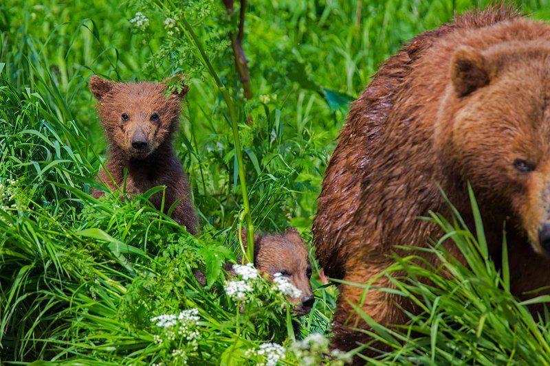 камчатка, медведь, лето, природа, путешествие, фототур, животные, Встреча в заросляхphoto preview