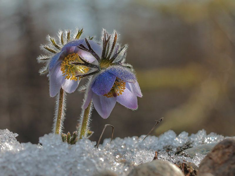 сон-трава, якутия, нерюнгри, растения, цветы, весна Весенниеphoto preview