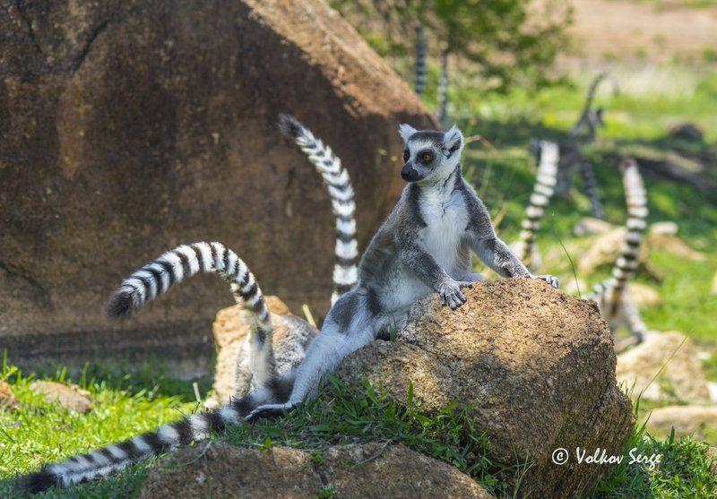 lemur catta, кошачий лемур, ring-tailed lemur, дикая природа, дикие животные, мадагаскар, фотоохота Нелегко быть королём!photo preview