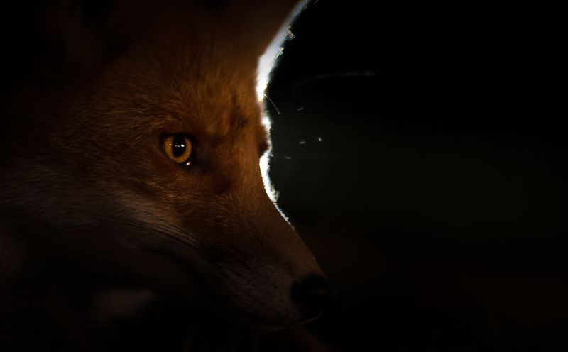 fox, darkness, finland, nature, no_captive Fox in the darkphoto preview