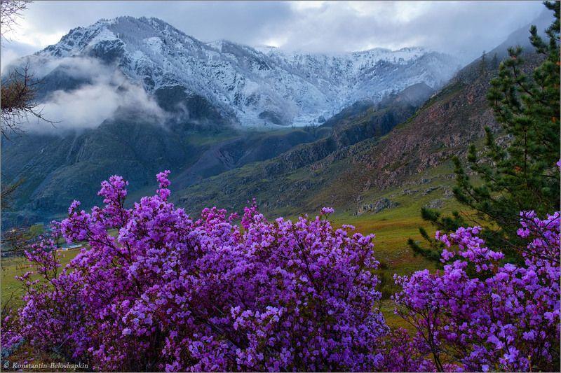 алтай, горы, вечер, весна, рододендрон ледебура, маральник, иодро Весенний вечерphoto preview