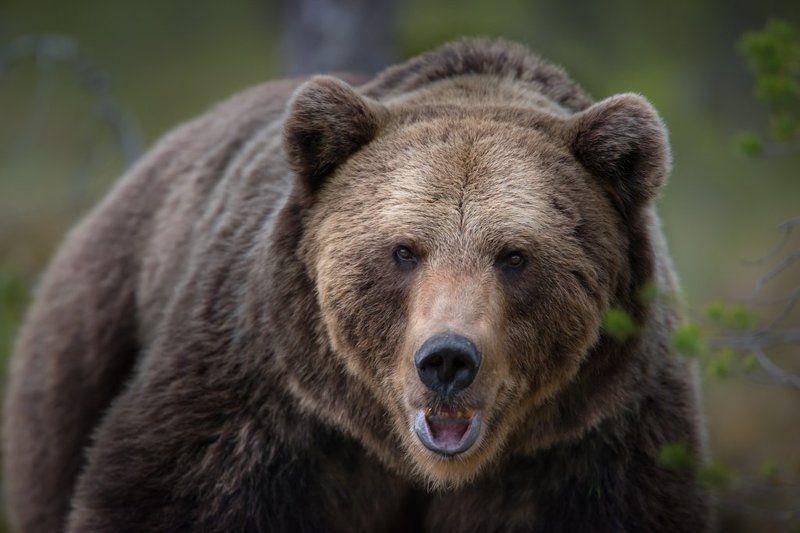 Bear, Finland, Kuhmo, no_captive Bears in Finlandphoto preview