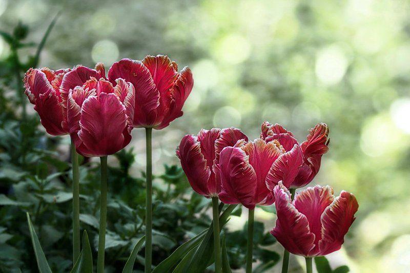 цветы, тюльпаны, весенние цветы Так хочется тюльпанов в январе...photo preview