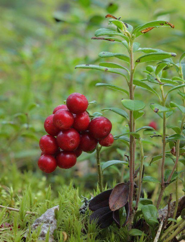 брусника ягода боровика Боровикаphoto preview