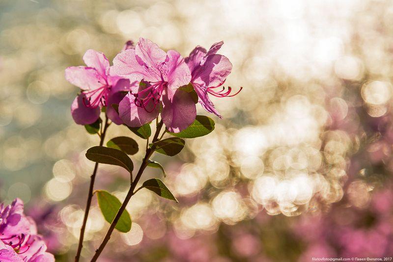#алтай_чудеса_природы #алтай #сибирь #siberia #павел_филатов #pavel_filatov #filatovpavelaltai #катунь #макро #рододендрон #прострелы #весна #блики #close up #spring #rhododendron Весеннее настроение...photo preview