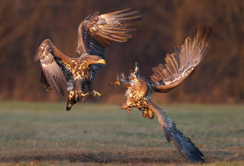 white-tailed eagle battle at sunsetphoto preview