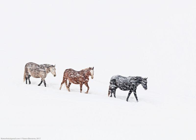 #алтай #сибирь #siberia #павел_филатов #pavel_filatov #filatovpavelaltai #снег #снегопад #буран #красногорье #красногорское #предгорья #метель #кони #fog #snow #blizzard #horses Сквозь буранphoto preview
